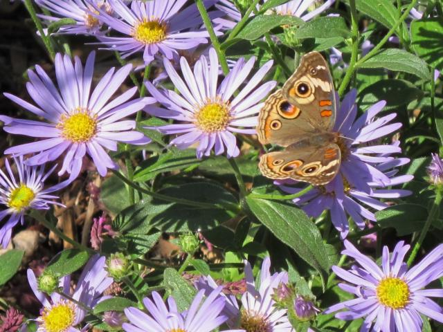 Image of butterfly on asters in the UC Davis Arboretum.